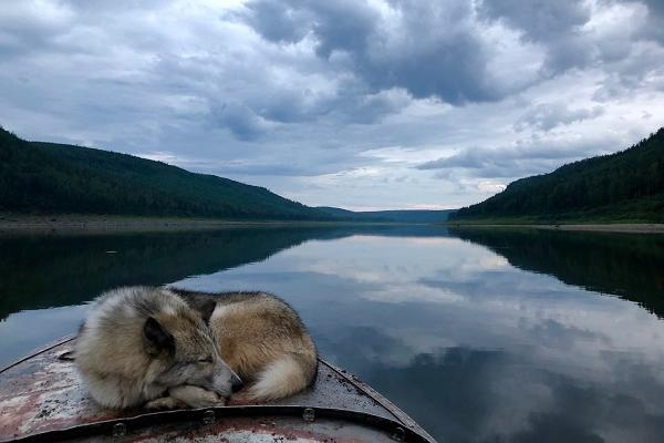 wandering through different worlds wolf dog asleep on kanu anna gleizer