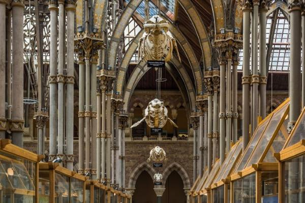 Photograph of the interior of the Museum of Natural History depicting the skeletons of marine mammals hanging from Ruskin's Neo-gothic steel roof.