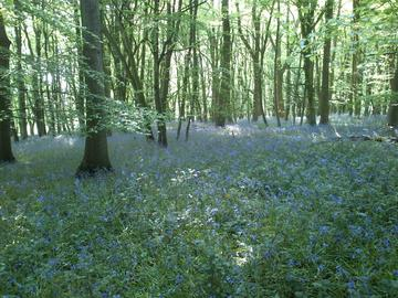 Bluebells in Wytham Woods