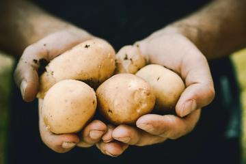 A close-up of a person's hands. They are holding several potatoes that are covered in mud from the ground.